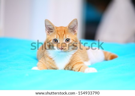 Animals at home. Red cute little baby cat pet kitten laying on bed turquoise blanket