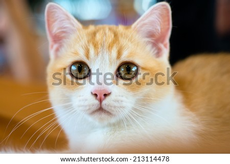 Animals: close-up portrait of young British shorthair bicolour cat