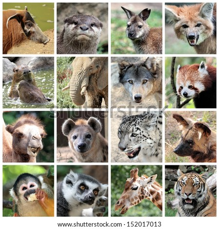 Animals collage with potamochoerus, otter, wallaby, maned and grey wolf, capybara, elephant, red panda, camel, hyena, snow leopard, lycaon, squirrel monkey, maki catta, giraffe, tiger portrait