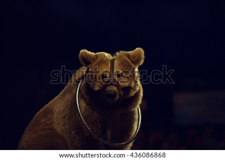 Animals exploitation concept. Close up portrait of a sad tired circus bear with leather safety stuff and metal hula hoop on its neck. Copy-space - stock photo
