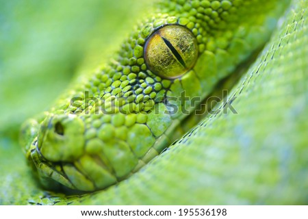Animals: extreme close-up portrait of green tree python, selective focus, shallow depth of field - stock photo