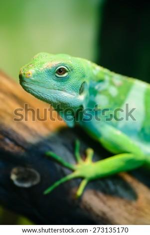 Animals: green lizard, Fiji banded iguana, Brachylophus fasciatus, sitting on tree branch, close-up shot - stock photo