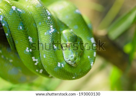 Animals: green tree python, Morelia viridis, close-up shot, selective focus - stock photo
