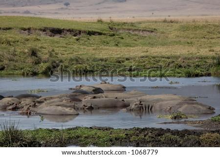 animals 074 hippos - stock photo