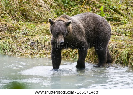 Animals In The Wild - Alaska - Brown Bear Catching A Fish - Lunch Break / Alaska - Brown Bear Catching A Fish - stock photo