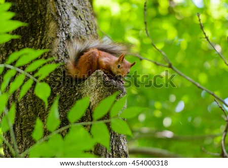 Animals in wildlife. Amazing picture of beautiful sunny squirrel sitting on a high tree with green leaves in deep forest as a background. Closeup animal perspective.