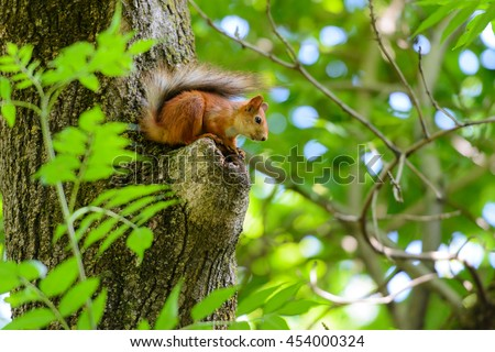 Animals in wildlife. Amazing picture of beautiful sunny squirrel sitting on a high tree with green leaves in deep forest. Small red squirrel. Squirrel on a tree. Cute squirrel.  - stock photo