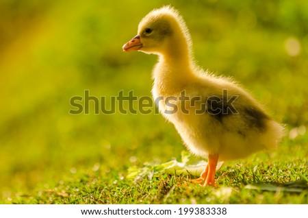 Animals in Wildlife, - Baby Goose - stock photo