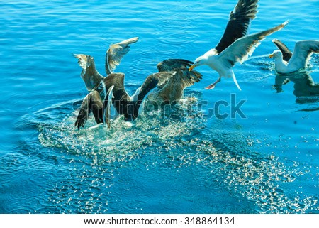 Animals nature and action. Flock of seagulls in fight for food in the water.