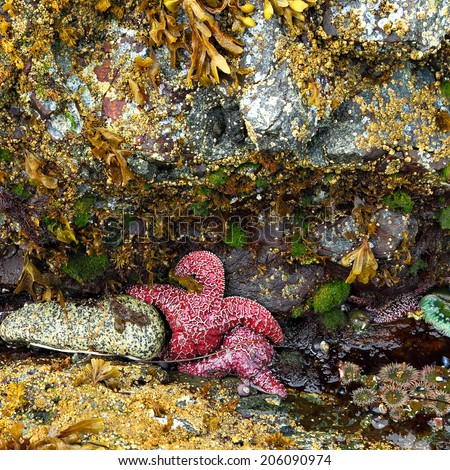 Animals of the underwater world (Starfishes, actinium and mollusks) on Pacific Ocean shelf in low tide (British Columbia. Canada)  - stock photo