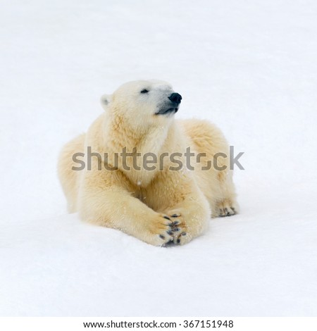 Animals: polar bear having a rest on white snow - stock photo