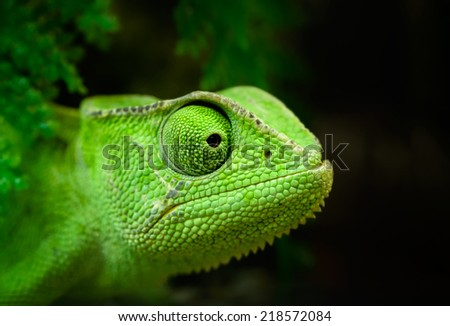 Animals: young green Cape dwarf chameleon, Bradypodion pumilum, looking forward, close-up portrait, on dark background - stock photo