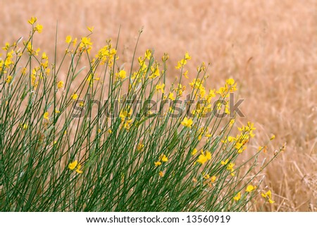anise flowered plant with a wheat plantation as background - stock photo