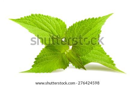 Anise hyssop isolated on white background  - stock photo