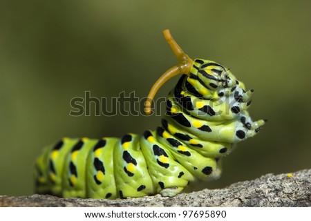 anise swallowtail caterpillar - stock photo