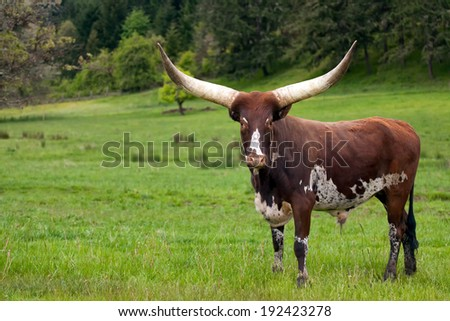 Ankole Watusi Longhorn in green pasture