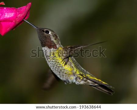 Anna's Hummingbird - stock photo