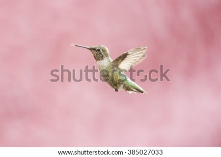 Anna's Hummingbird in flight isolated against pink background with wings open.