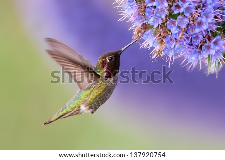 Anna's Hummingbird in flight with purple flower - stock photo