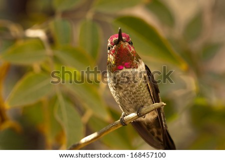 Anna's Hummingbird in Tucson, Arizona - stock photo