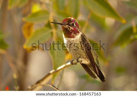 Anna's Hummingbird in Tucson, Arizona