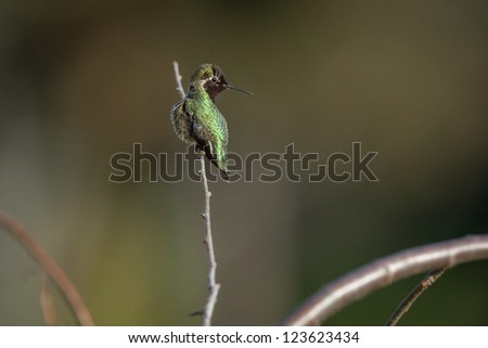 Anna's hummingbird perching on tree branch - stock photo