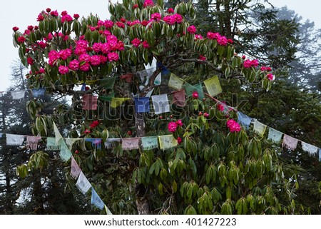 Annapurna is a very popular route in the Himalayas, especially in the spring during the flowering rhododendrons.  Prayer flags hanging on the trees