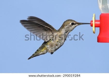 Annas Hummingbird (Calypte anna) in flight at a feeder with a blue background - stock photo