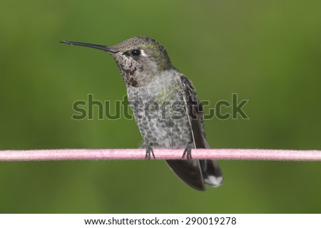Annas Hummingbird (Calypte anna) perched on a perch with a green background - stock photo