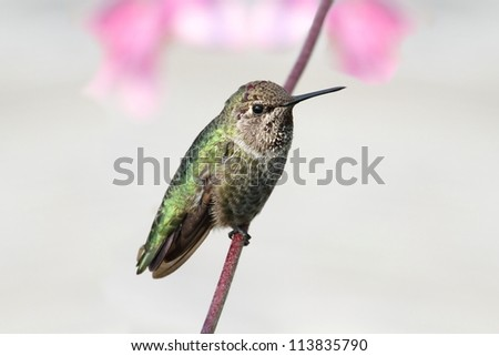 Annas Hummingbird (Calypte anna) perched with flowers in the background
