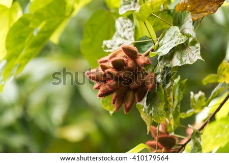 annatto food coloring seed - stock photo