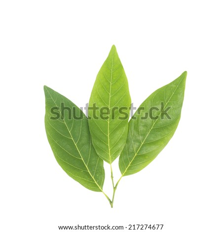 Annona leaf isolated with clipping path