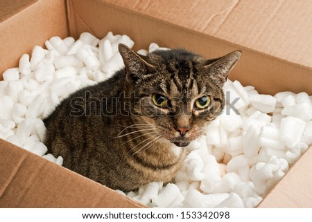 Annoyed cat in cardboard box of packing peanuts - stock photo