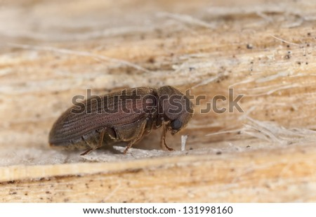 Anobium rufipes on wood, extreme close-up with high magnification - stock photo