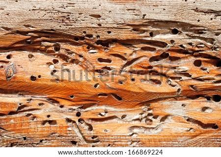 Anobium thomsoni damage on wood - stock photo