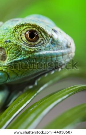 Anole lizard - stock photo