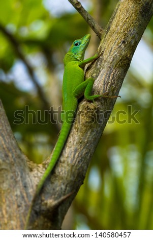 Anole Lizard portrait, while it rests at the tree in Dominican Republic.