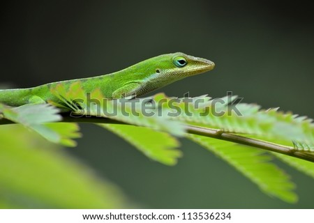 Anole on a Branch. - stock photo