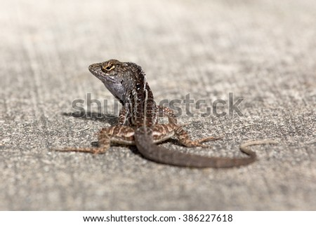 Anole sunning itself on a warm, sunny day in central Florida.