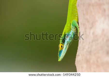 Anolis in a coconut tree - stock photo