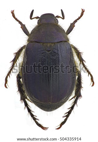 Anomala devota, a scarab from Europe