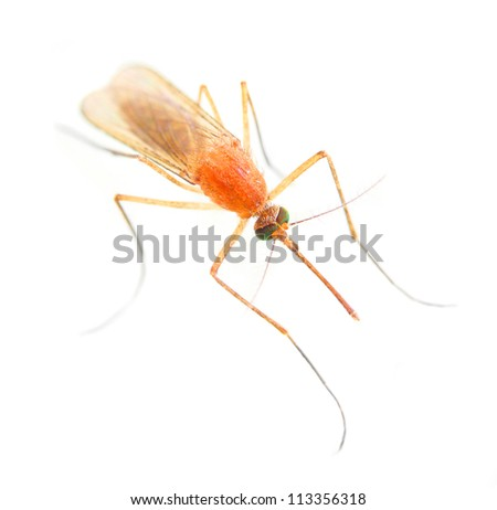 Anopheles mosquito - dangerous vehicle of infection. - stock photo