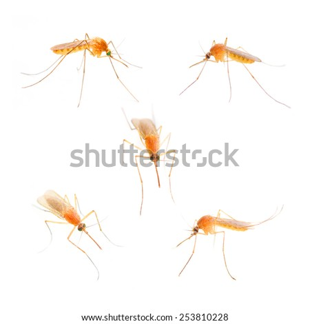 Anopheles mosquito, dangerous vehicle of infection.  - stock photo