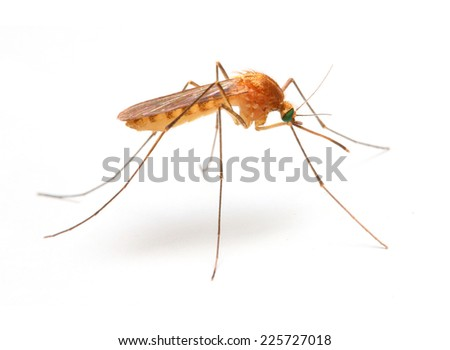 Anopheles mosquito, dangerous vehicle of zika, dengue, chikungunya, malaria and other infections. Insect isolated on white background. - stock photo