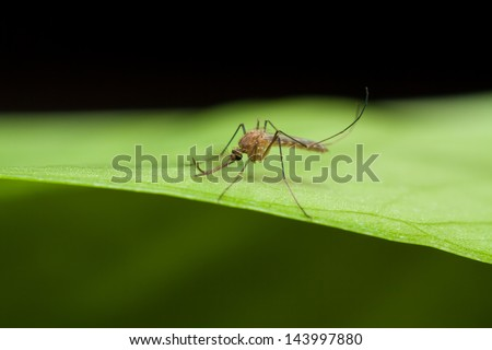 Anopheles mosquito resting on green leaf - stock photo