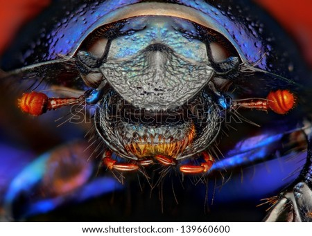 Anoplotrupes stercorosus dung beetle extreme sharp close up. - stock photo