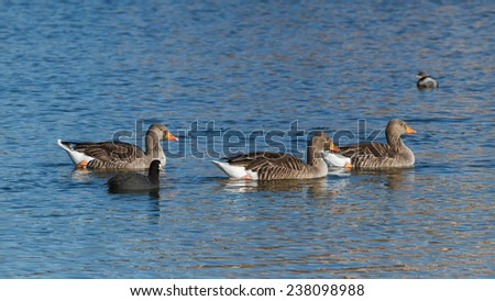 Anser anser. Greylag Geese. Coot. Fulica atra. Villaf�¡fila Lagoons Nature Reserve, Zamora. - stock photo