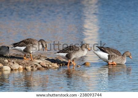 Anser anser. Greylag Geese. Reserve Natural Lagoons de Villafafila, Zamora. - stock photo