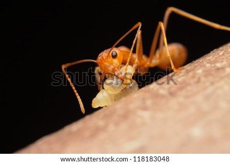 ant - stock photo