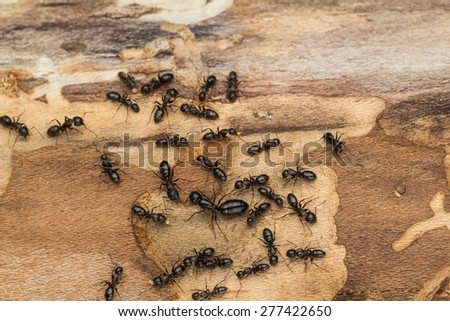 Ant colony disperses after discovery under bark of pine tree firewood.  Likely carpenter ants Camponotus  pennsylvanicus. - stock photo